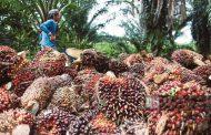 Inovasi Bahan Pakan Ternak Berbasis Bungkil Sawit