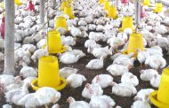 Hadapi Ancaman Ayam Impor Brazil, Pakar IPB Minta Pemerintah Permudah Impor Bahan Baku Pakan