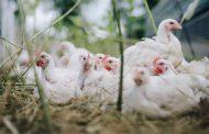 Prihatin! Ternak Ayam 90 Persen Dikuasai Korporasi, Peternak Rakyat Semakin Menjerit